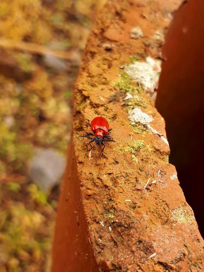 Lily Beetle roja/escarlata Lily Beetle imagenes de archivo