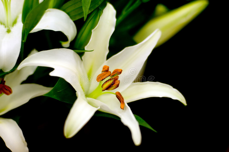 Lily on the black royalty free stock photo