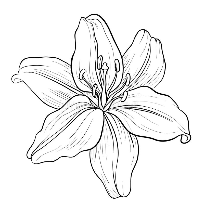 Line Drawing Lily : Lily stock illustration of florals outline