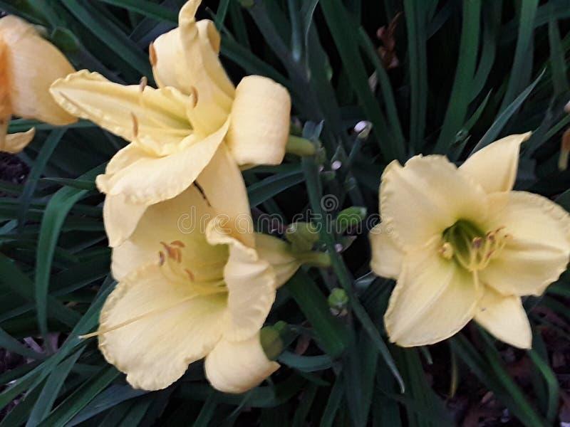 Lily Blooms amarela 2019 fotografia de stock royalty free
