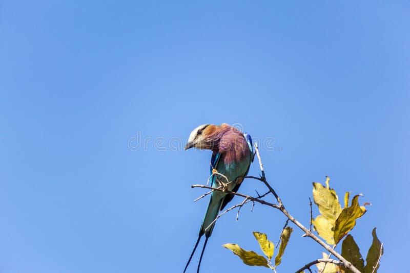 Lily Breasted Rolkowy ptak W Tanzania zdjęcia royalty free