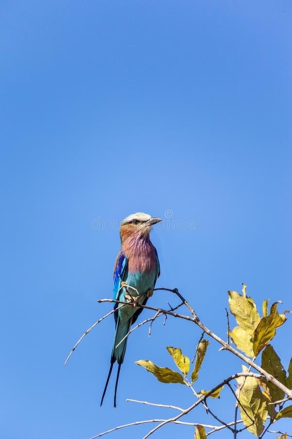 Lily Breasted Rolkowy ptak W Tanzania zdjęcia stock