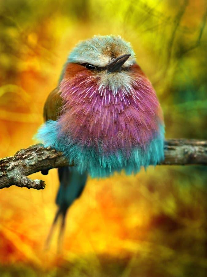 Lily Breasted rolownika ptak   obrazy stock