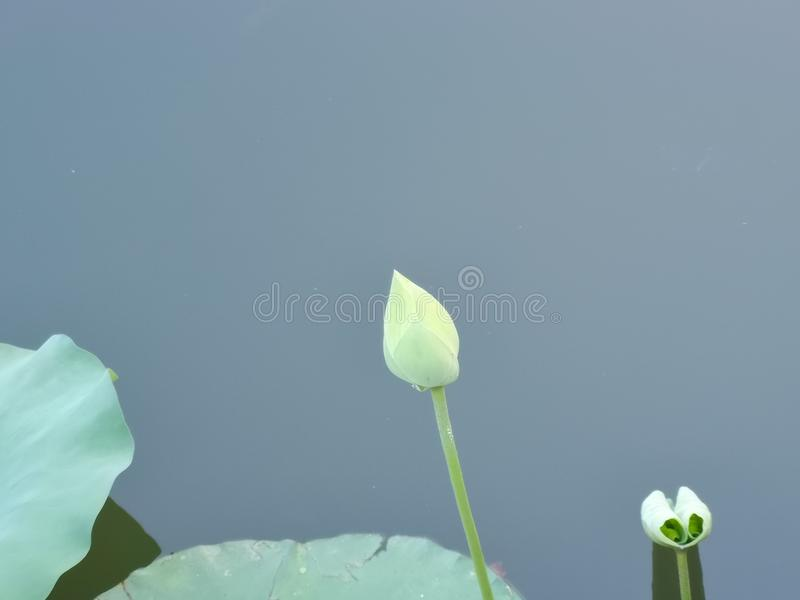 A lily bud and leaf on the water. The bud is quiet growing up stock photography