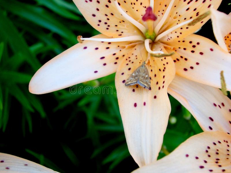 Lily with a butterfly on a flower. Lily-amazing beauty flower, one of the oldest among the many bulbous plants. Images of one of the most exquisite lilies royalty free stock photography
