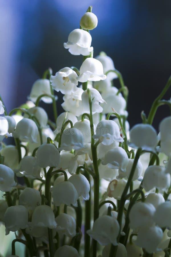 lily charakteru rosyjski nieznane doliny świat zdjęcia royalty free