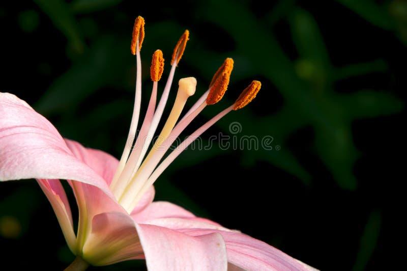 Lily Closeup asiatica rosa fotografia stock libera da diritti