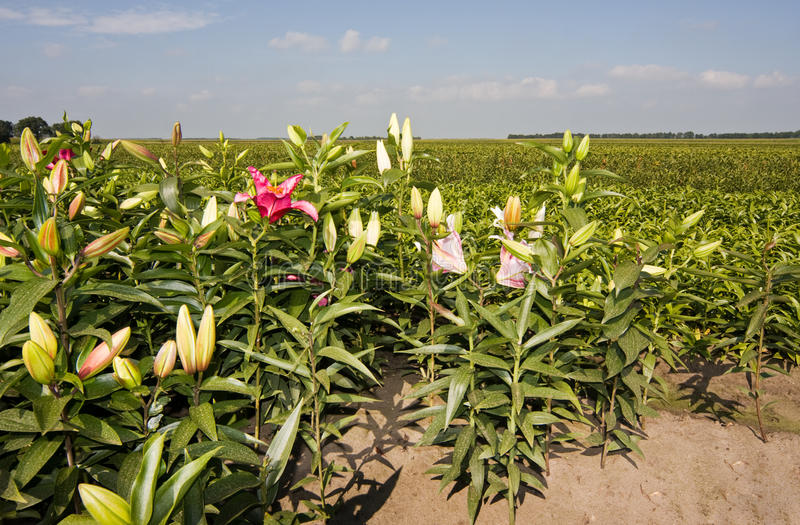 Download Lily culture stock photo. Image of botany, agriculture - 26539328