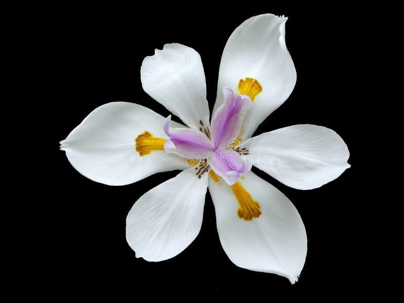 lily, czarnej żyje obrazy stock