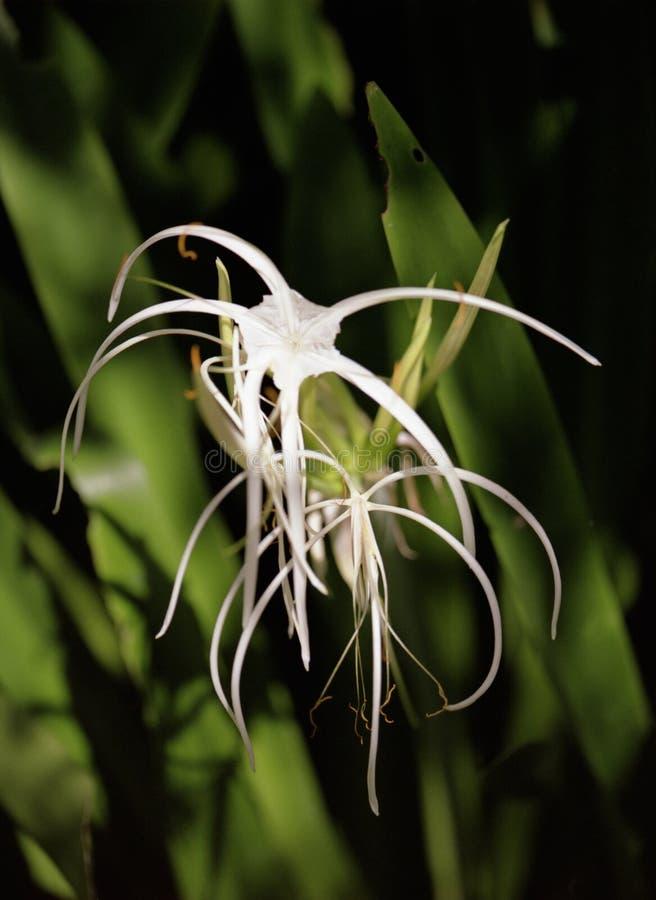 lily czosnku zdjęcia royalty free