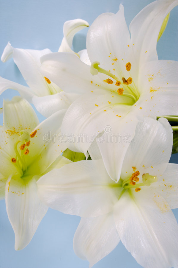 Lily display royalty free stock photo