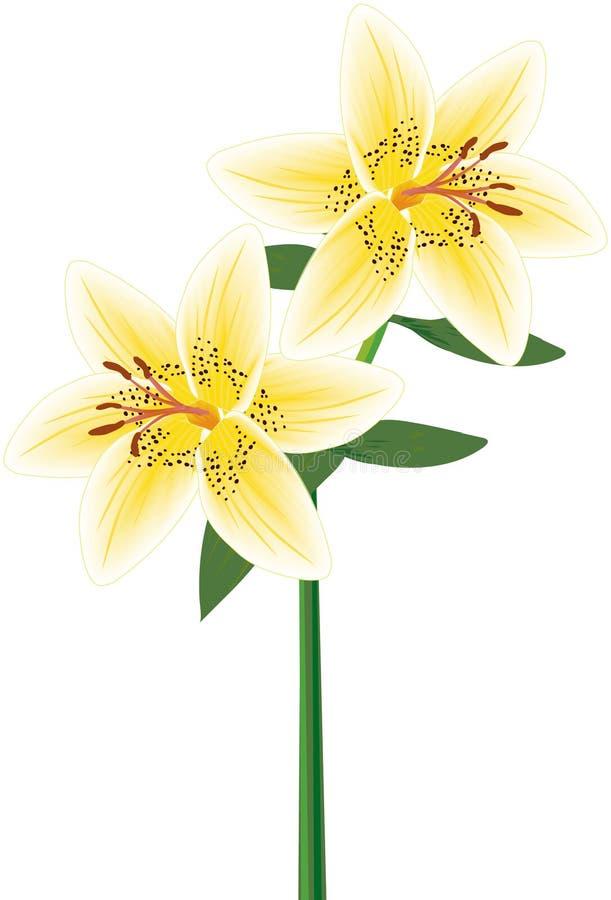 Lily Double Stem Yellow lizenzfreie abbildung