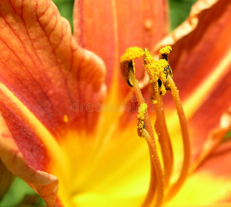 Lily filaments stock images