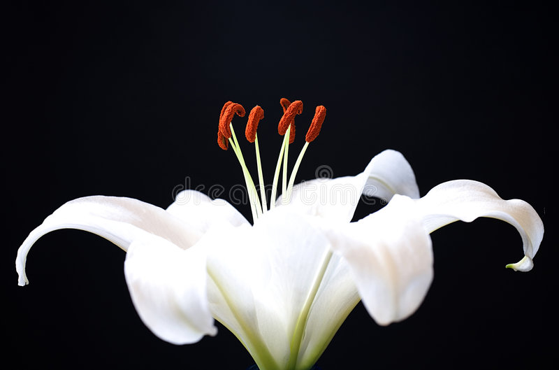 Lily flower stock photography