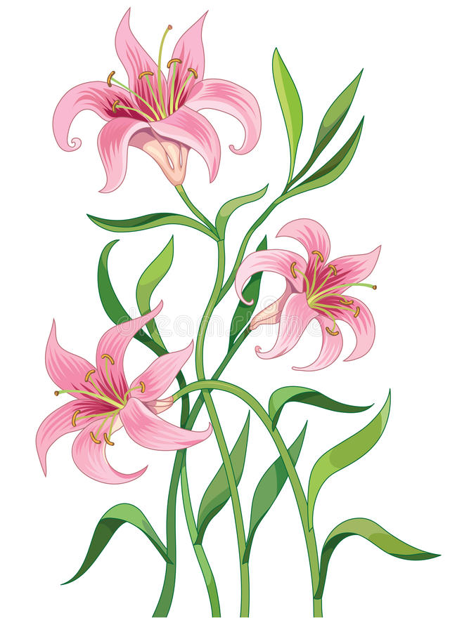 Lily flower vector illustration