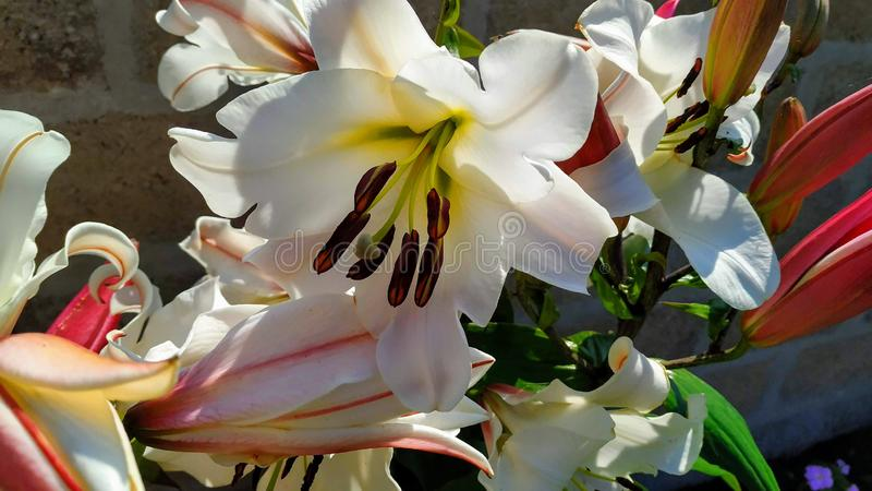 Lily Flower al sole immagine stock libera da diritti