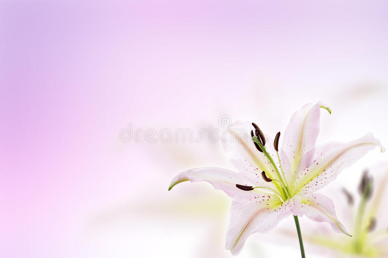 Lily flower background stock images