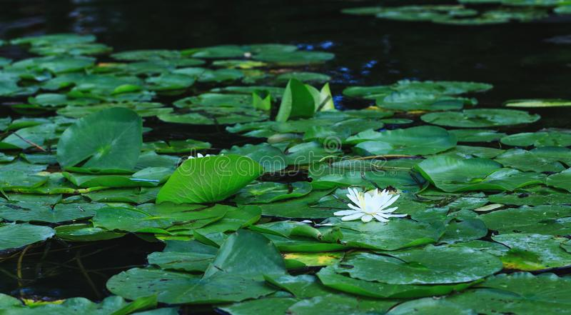Lily flower blossoms or amazing lotus blooming on pond. White wa stock photo