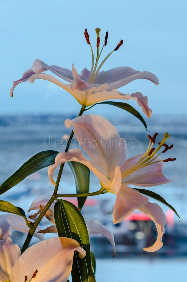 Lily flower on blue background stock photos