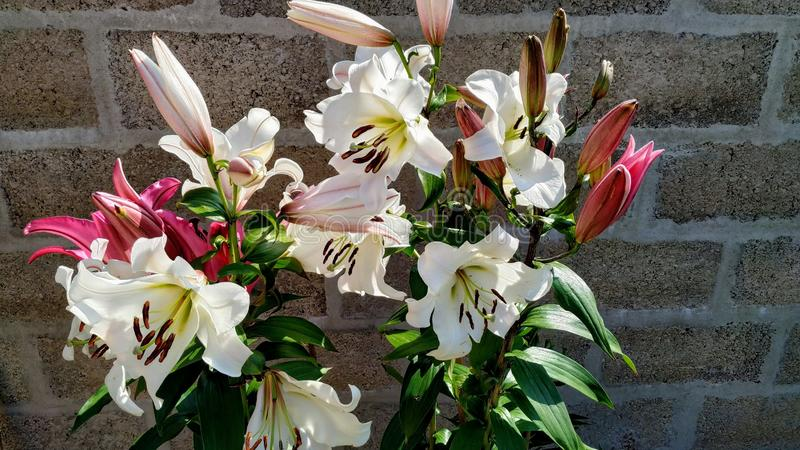Lily Flower in der Sonne stockfoto