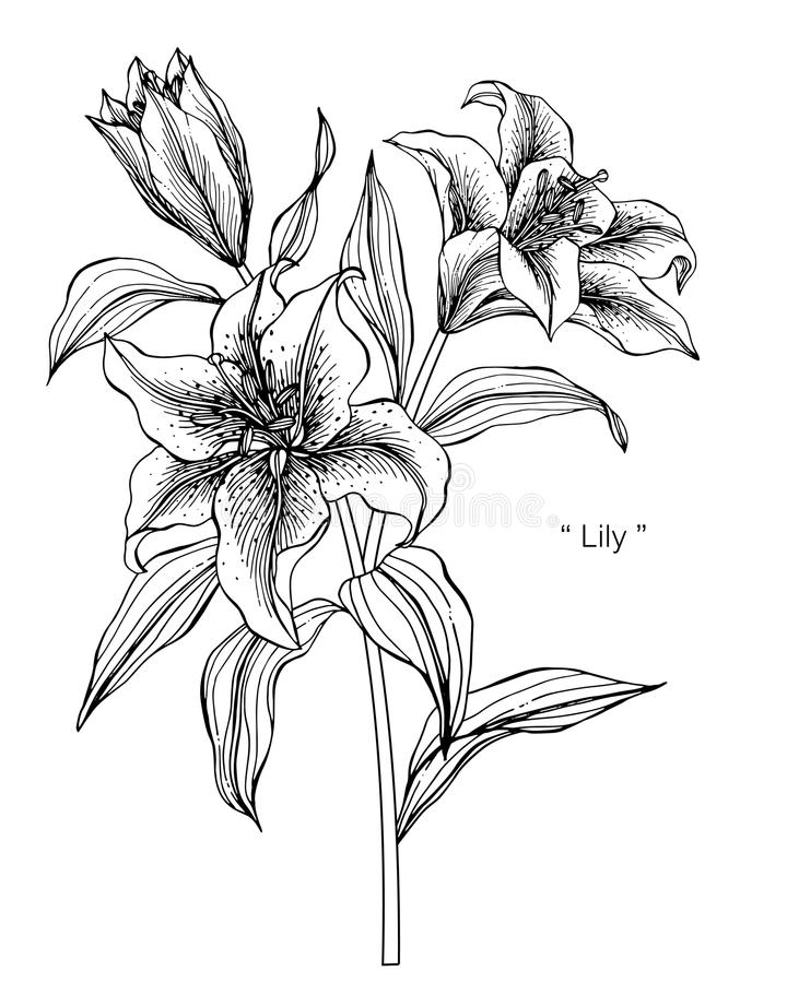 Lily flower drawing illustration. Black and white with line art. Lily flower drawing illustration. Black and white with line art on white backgrounds vector illustration