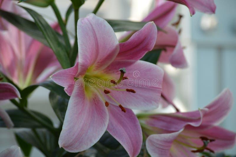 Lily Flower In The Garden foto de stock