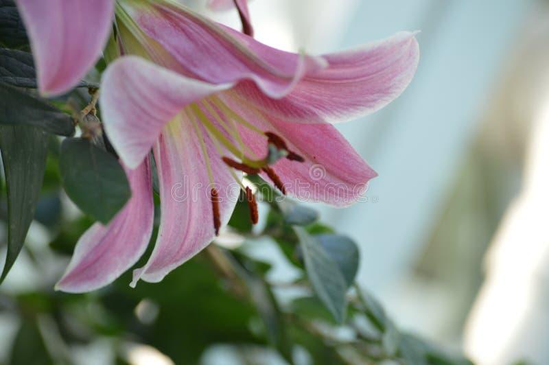 Lily Flower In The Garden fotografia de stock royalty free