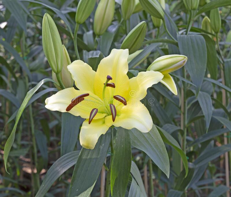 Lily flower in the garden.  stock image
