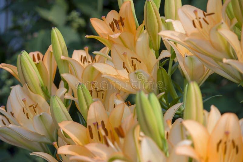 Lily Flower In The Garden Profondeur de zone Plan rapproch? photos stock