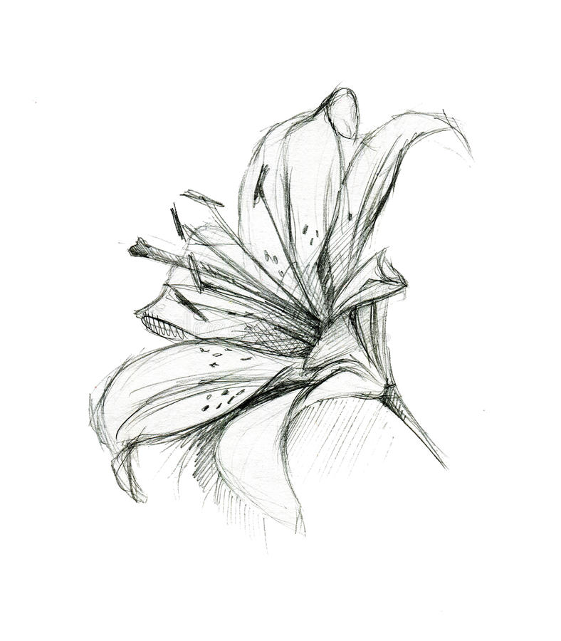 Line Drawing Lily Flower : Lily flower hand drawing sketch on white background