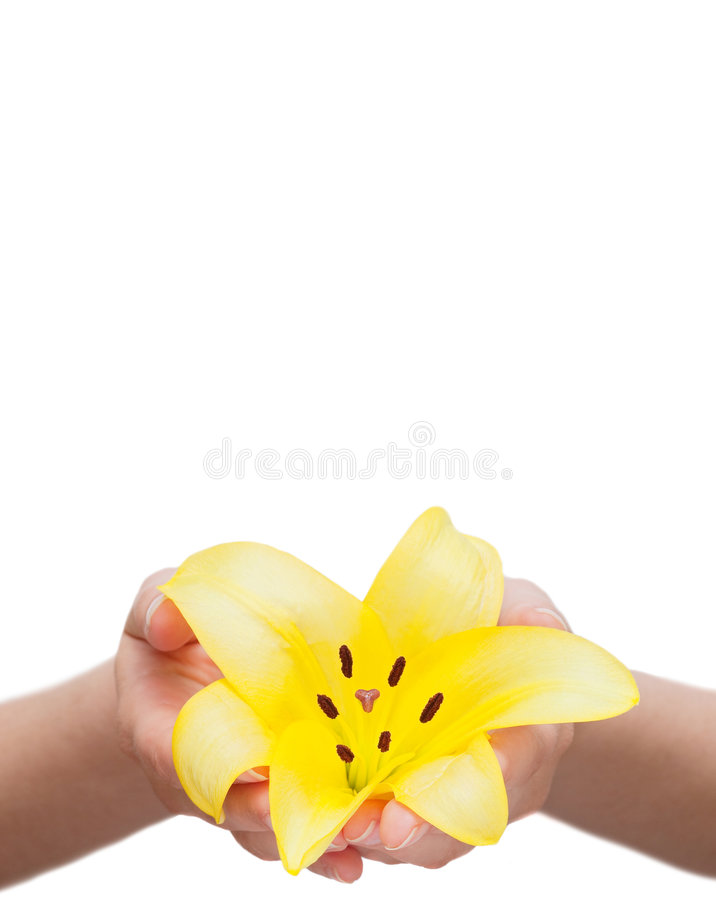 Lily flower held in hands. Yellow lily flower held in the hands isolated over white background royalty free stock photo