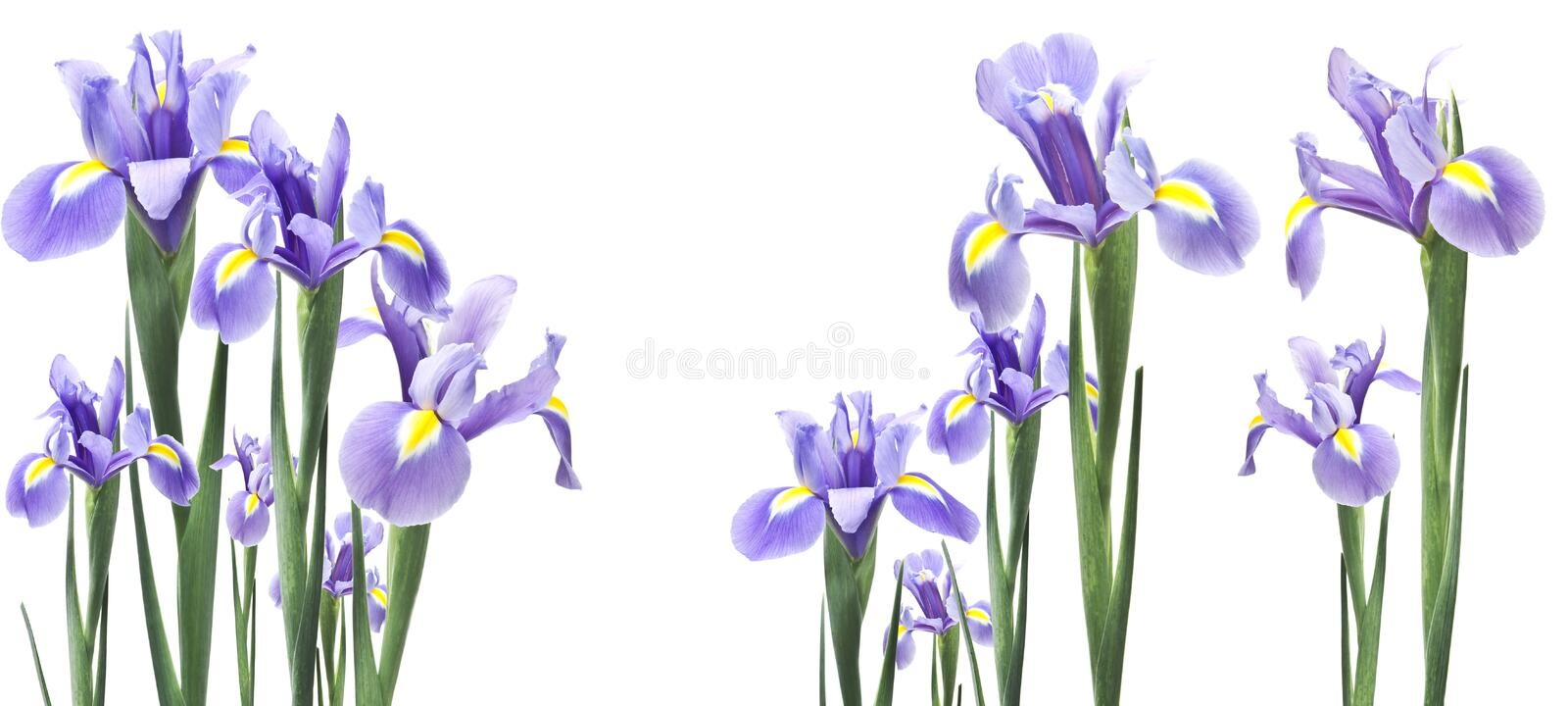 Lily flower isolated on white stock photos