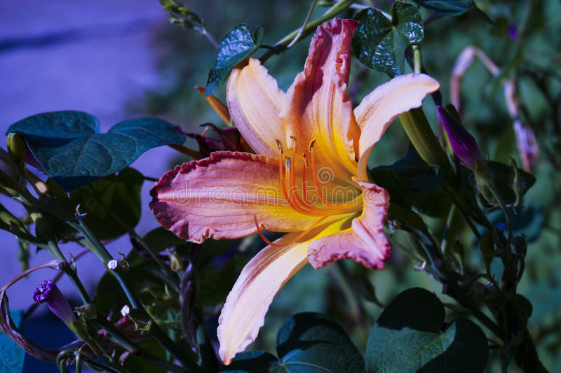 Lily flower with multicolored petals stock photos