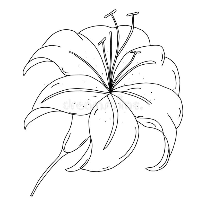Lily flower outline drawing. Black and white image isolated on a white background. A blooming Lily flower. Garden summer flowers. stock illustration