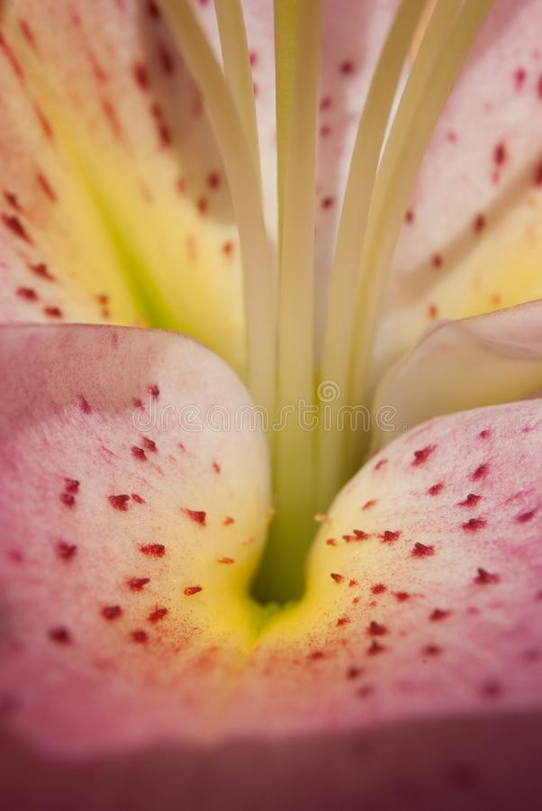 Lily Flower Petal royalty free stock photography