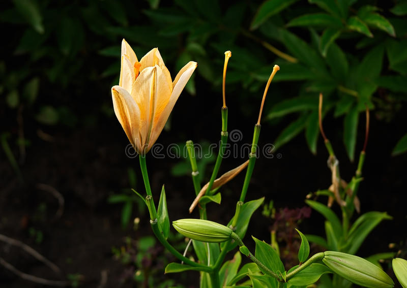 Lily flower in the rays of the setting sun stock images