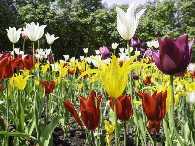 Lily flowering tulips blooming in the spring garden. A large group of colorful lily flowering tulips blooming in a park in the spring, large blooming lilac hedge royalty free stock photography