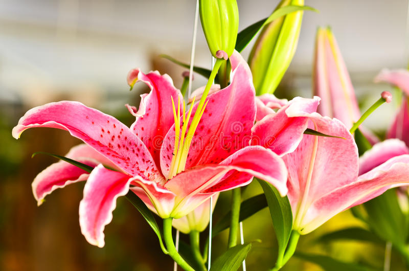 Lily Fragrance  Blooming Stock Images
