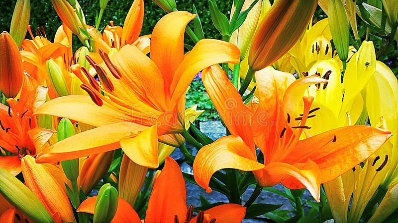 Lily Garden. Beautiful Lily Garden at the Dallas Arbouretum stock image