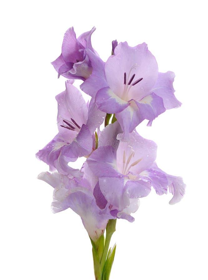 Lily gladiolus obraz royalty free