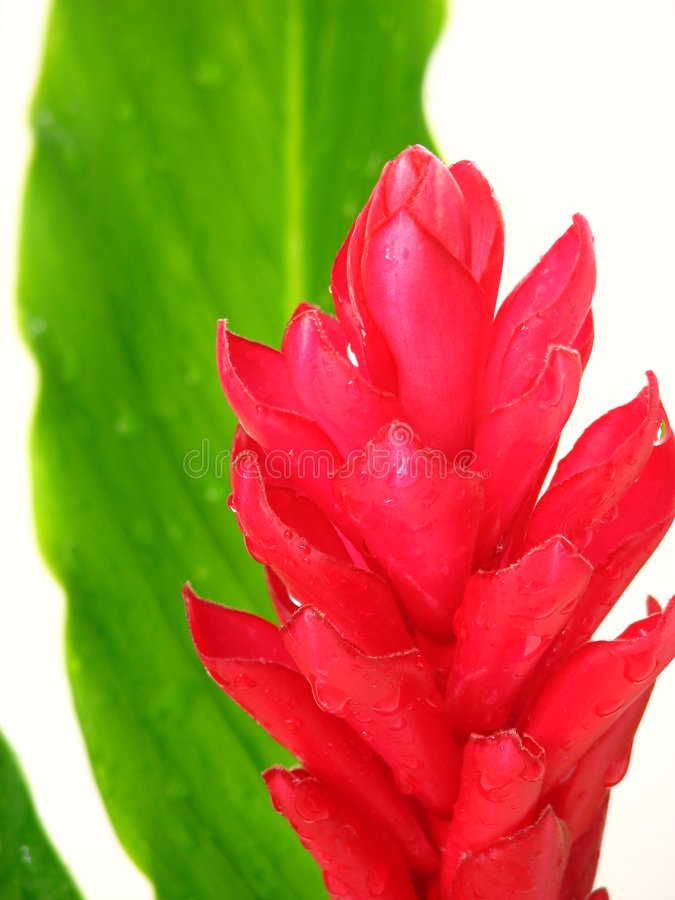 lily imbirowa obraz royalty free