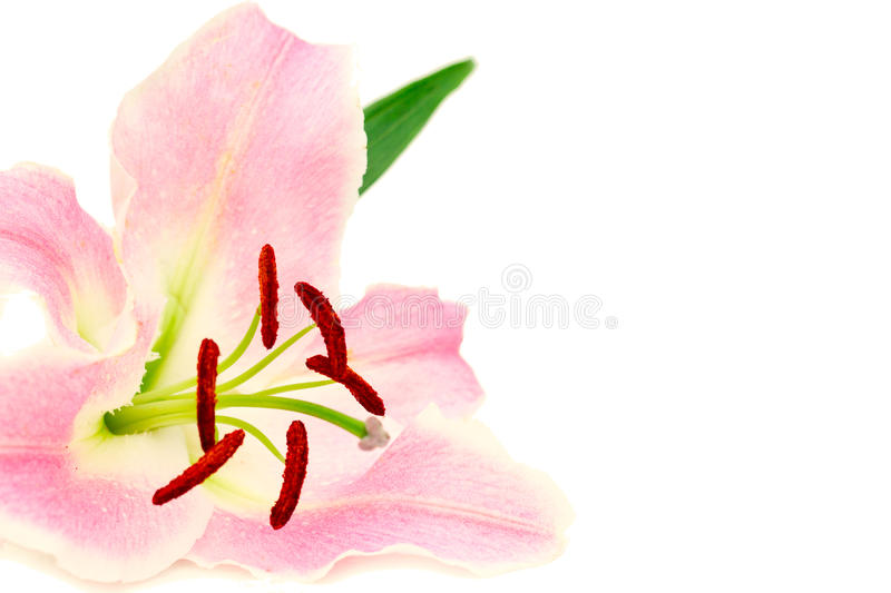 Lily Isolated On White Background Stock Photo
