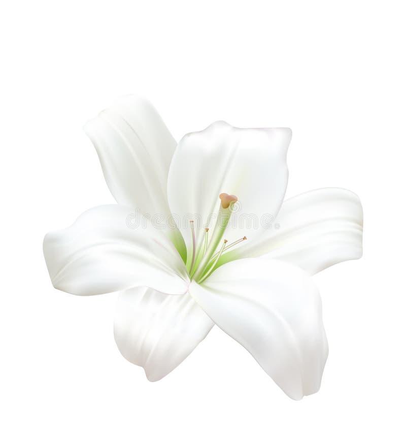 Lily Isolated On White Background branca bonita Foto-realística ilustração stock