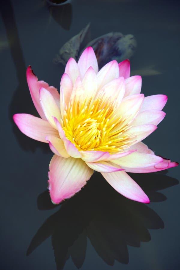 lily jest odbicie wody zdjęcie stock