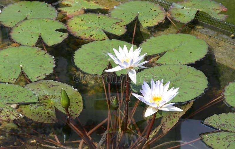 lily jest podkładek obraz stock