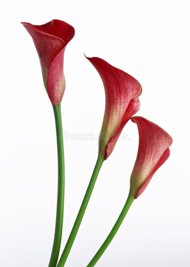 lily kalii fotografia stock