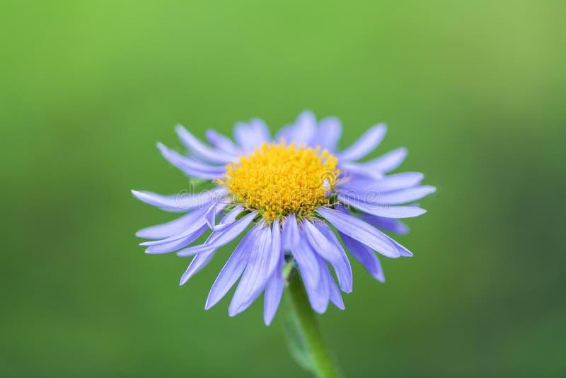 Lily kwiat na zamazanym zielonym tle zdjęcie royalty free