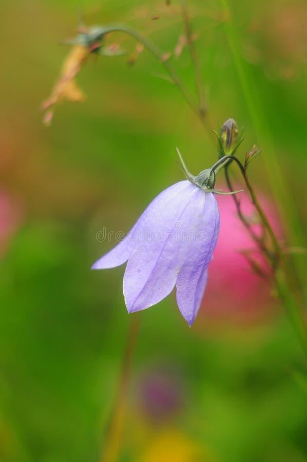 Lily kwiatu dzwon w trawie, zakończenie w górę obraz royalty free