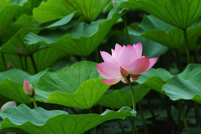 Download Lily and leafs stock image. Image of natural, fresh, daytime - 4338669