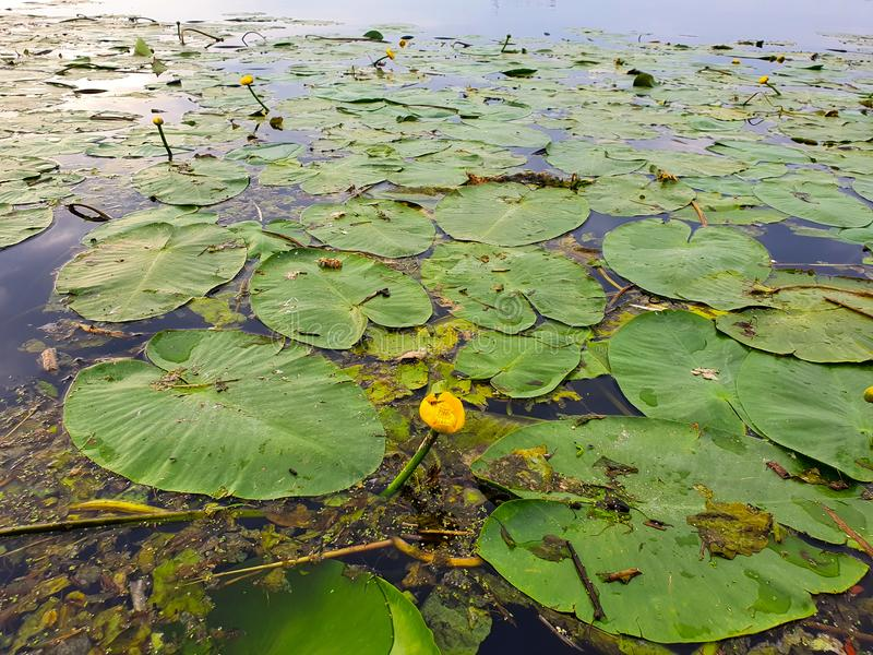 Lily leaves in dirty water. Lily leaves in water, green, yellow, lake, nature, plants, flower, beautiful, zen, peaceful, early, netherlands royalty free stock photography